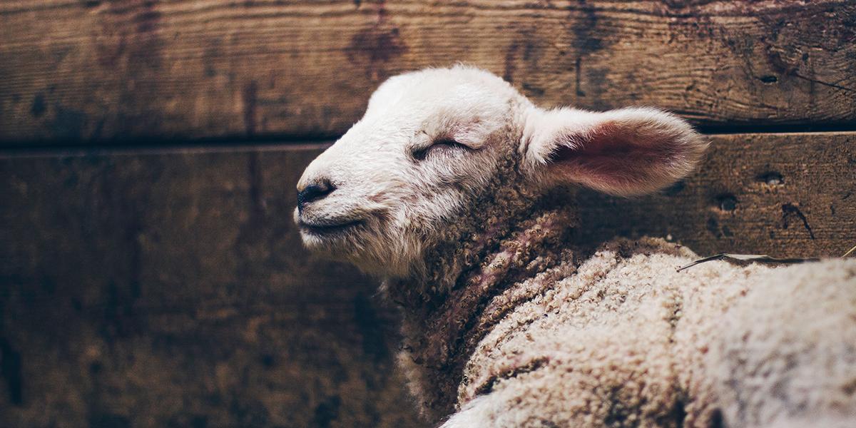 O cordeiro é um dos representantes dos sacrifícios de animais na Bíblia