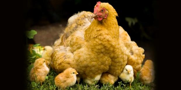 galinha e pintinhos