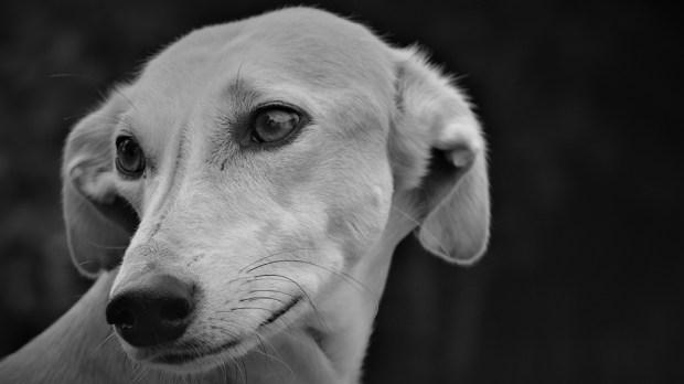 LURCHER DOG